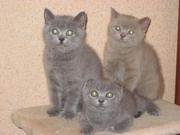 Плюшевые котята (Scottish straight & Scottish fold)