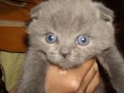 продам котят БРИТАНСКОЙ ПОРОДЫ ГОЛУБОГО ЦВЕТА