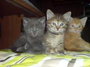 Только в хорошие любящие руки отдам четырех котят: дымчатый,  2 рыжих,