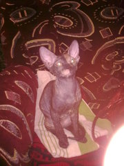 Продам кошку донского сфинкса