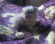 Продам недорого симпатичных персидских котят