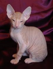 Котята донского сфинкса редких окрасов