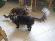 Кошечка длинношерстная,  темная с белым подшерстком