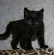 Черненькая кошечка с белым пятнышком на груди (осталась 1 девочка).