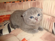 Шотландские голубые котята девочка и мальчик (вислоухие)