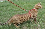 Бенгальский мини леопард,  котята,  вязки