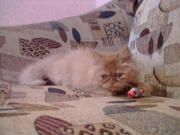 Продается персидский котенок (девочка)