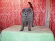 Вислоухий кот для вязок.