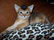 Продам абисснского котика