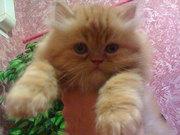 Продам котят, персов.