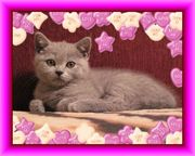 Британский плюшевый котенок,  Салтовка