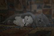 продам британских котят с родословной