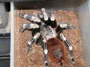 Недорого молодые пауки птицееды, змеи, ящерицы.