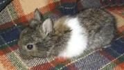 карликовые вислоухие, голландские и львиноголовые кролики