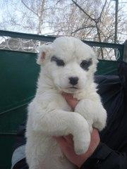 Продам щенков Туркменского Алабая