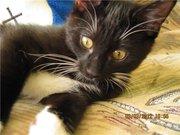 Предлагаю котенка Курильского бобтейла с отличной родословной.