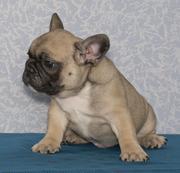 Продам щенков французского бульдога шоу-класса с отличной родословной!