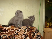 Элитные породистые шотландские котята