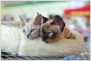 Чистокровные котята Девон Рекс