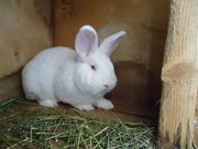 кролики Калифорнийский,  Новозеландский,  Большое светлое серебро