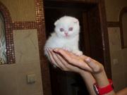 Потрясающий белоснежный вислоухий котенок.