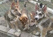 породистые щенки западносибирской лайки