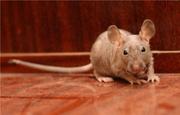 Экзотические крысы-лысые фаззы