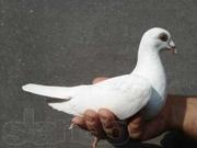 ГОЛУБИ в Харькове,  выпуск голубей Харьков,  выпускать голубей