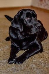 Продам щенка Лабрадора