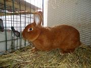 Красный новозеландский кролик (НЗК)