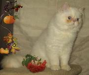Гималайский персидский котенок