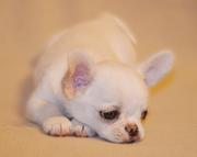 Красивый щенок чихуахуа в типе коби