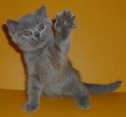 Чистокровные британские котята питомник UA*Busyabri(FIFe)