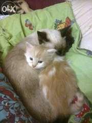 Возьму бело-рыжего пушистого котёнка самца до 2х месяцев