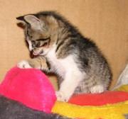 Котята на счастье в дар