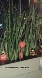 продам саженцы финиковой пальмы
