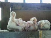 продам цыплят-бройлеров подростков