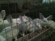 Продам породистых крольчат. Цена договорная