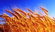 Куплю пшеницу ячмень подсолнечник рапс