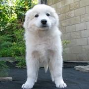 Невероятно красивые щенки словацкого чувача