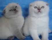 Продам в хорошие руки шотландских котят