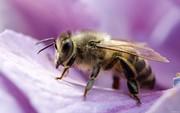 Пчелы для медосбора и опыления