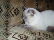 Шотландский страйт короткошерстный кот для вязки