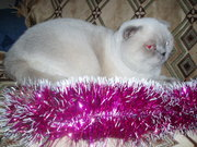 Шотландский вислоухий кот колор поинт для вязок.