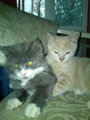 Отдам британских котят в заботливые руки
