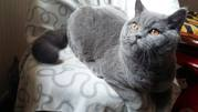 Продажа взрослой шотландской кошки из питомника