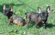 Продам щенков Французского бульдога!!!