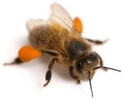 Продам пчелопакеты на 4-х и 6-ти рамках