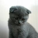 Котята  вислоушки ждут Вас!