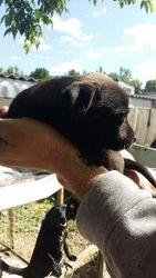 Отдам породистых щенков  помесь японской хины+такса. в добрые руки
